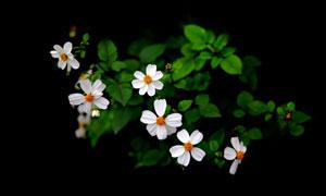綠葉小百花的花卉植物攝影高清圖片