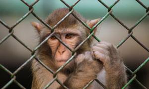 爪子扒着防护网的猴子特写高清图片