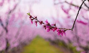 粉紅色的梅花花枝高清攝影圖片