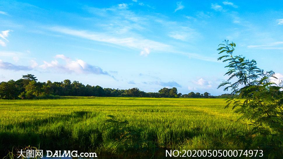 蓝天白云下的绿色稻田摄影图片