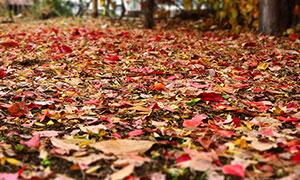秋季公园中遍地的落叶摄影图片