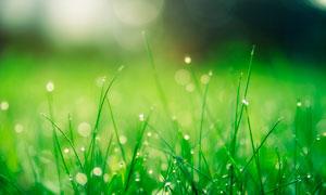 清晨綠色草地和露珠露水攝影圖片