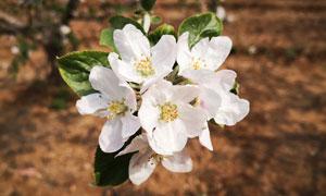 盛開的蘋果花高清攝影圖片