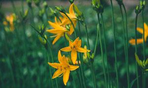 盛開的黃色百合花攝影圖片