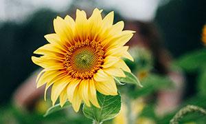 盛開的向日葵花束攝影圖片