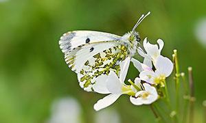 正在花朵上采蜜的蝴蝶攝影圖片