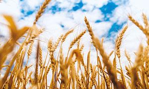 蓝天白云下的麦穗摄影图片
