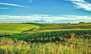 蓝天白云下的农田和草丛摄影图片
