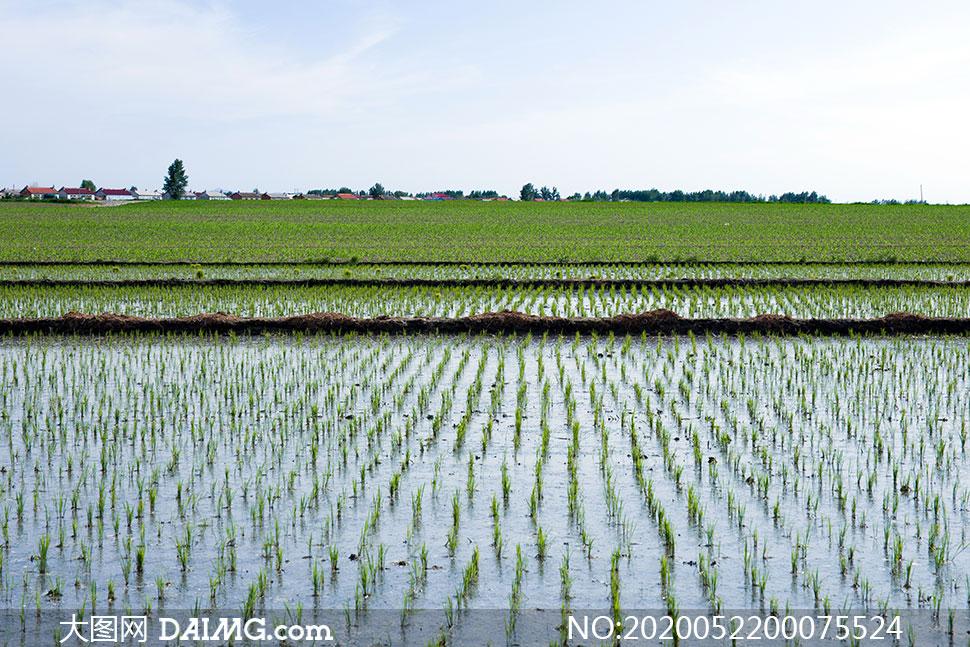 蓝天下的水稻稻田摄影图片