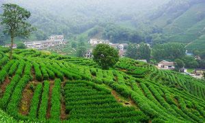 大山中的茶园美景摄影图片