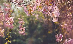 浪漫唯美櫻花樹枝自然風景攝影圖片