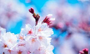 盛开的樱花花枝摄影图片