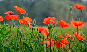 红色罂粟花种植园摄影图片
