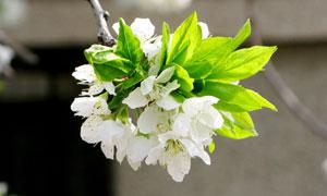 桃花花枝和花朵摄影图片