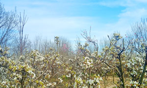 蓝天下的梨花园高清摄影图片