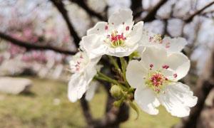 盛开的枝头梨花摄影图片