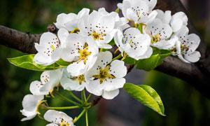枝头美丽的白色梨花摄影图片