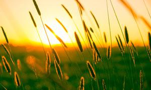 夕阳下的狗尾巴草摄影图片