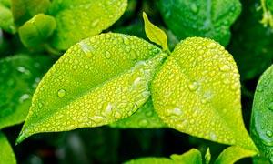 叶子上的露珠和雨滴摄影图片