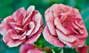 玫瑰花上晶莹剔透的露珠摄影图片