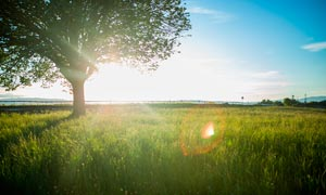 清晨阳光下的大树和草地摄影图片