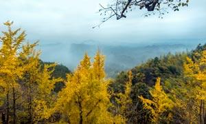 深山中的银杏树高清摄影图片