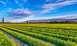蓝天白云下油菜花地摄影图片