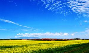 蓝天下的油菜花农作物摄影图片