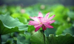 荷花池中盛开的粉色荷花摄影图片