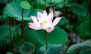 盛开的荷花和莲蓬高清摄影图片