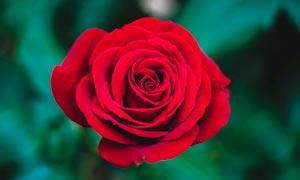 盛开的红玫瑰高清摄影图片
