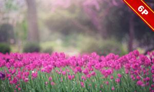 春天郁金香花叢背景與光斑高清圖片