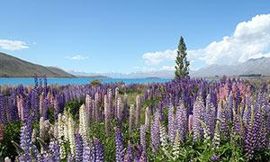 湖边的薰衣草庄园高清摄影图片