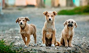 三只棕褐色可愛小狗攝影圖片