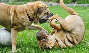 兩只正在草地上玩耍的沙皮狗攝影圖片
