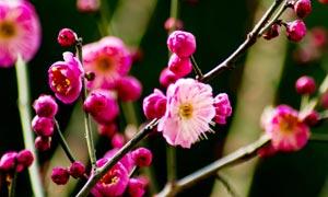 梅枝上含苞待放的花苞摄影图片