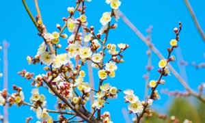蓝天下的梅花摄影图片