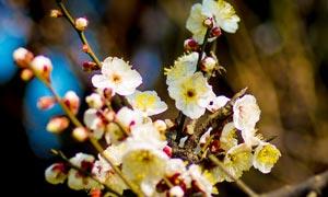 寒冬中盛开的梅花高清摄影图片
