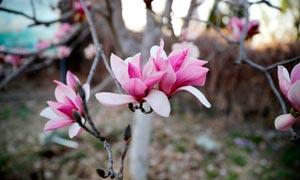 盛开的粉红色玉兰花摄影图片