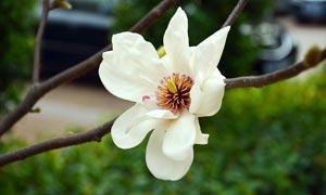 枝头上盛开的白色玉兰花摄影图片