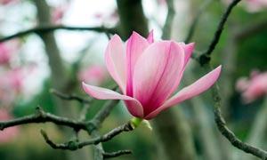 绽放的粉红色玉兰花摄影图片
