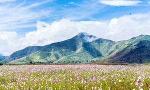 漫山遍野盛开的格桑花摄影图片