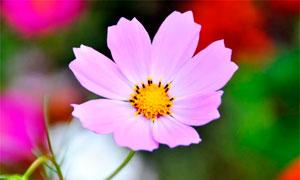 盛开的粉色格桑花特写摄影图片