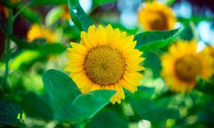 美丽盛开的向日葵花摄影图片