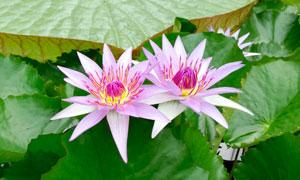 两朵盛开的粉色莲花摄影图片