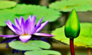 含苞待放的莲花花苞摄影图片