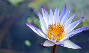 盛开的紫色莲花高清摄影图片