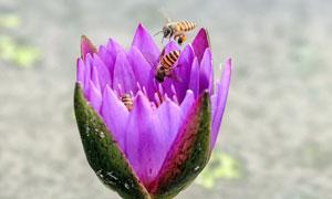 正在绽放的紫色莲花摄影图片