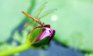 蜻蜓点荷创意摄影图片
