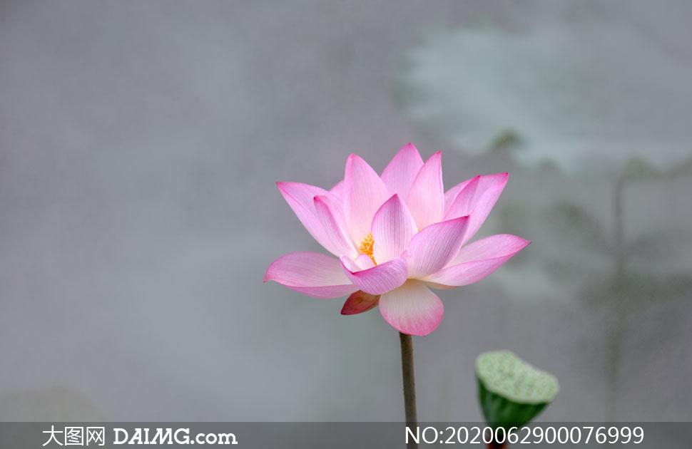 盛开的粉色荷花摄影图片